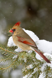 Northern Cardinal in Spruce Tree in Winter, Marion, Illinois, Usa Photographic Print by Richard ans Susan Day