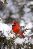 Northern Cardinal in Juniper Tree in Winter, Marion, Illinois, Usa Photographic Print by Richard ans Susan Day