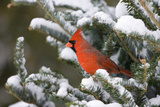 Northern Cardinal in Balsam Fir Tree in Winter, Marion, Illinois, Usa Photographic Print by Richard ans Susan Day