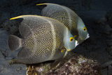 Portrait of Two French Angelfish. Curacao, Netherlands Antilles Photographic Print by Barry Brown