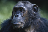 Tanzania, Gombe Stream National Park, Female Chimpanzee Photographic Print by Kristin Mosher