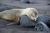 Ecuador, Galapagos, Santiago Island. Galapagos Sea Lion Sleeping Photographic Print by Kevin Oke