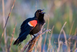 Red-Winged Blackbird Male Singing in Wetland Marion, Illinois, Usa Photographic Print by Richard ans Susan Day