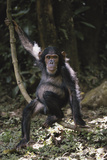 Tanzania, Chimpanzee Young Female at Gombe Stream National Park Photographic Print by Kristin Mosher