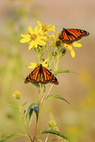 Monarch Butterflies, Prairie Ridge Sna, Marion, Illinois, Usa Fotografisk tryk af Richard ans Susan Day