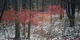 Red foliage among snowy forest, Eagle Creek Park, Indianapolis, Indiana, USA Reprodukcja zdjęcia autor Anna Miller
