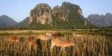 Laos, Vang Vieng. Cows in Front of Limestone Karst at Sunrise Photographic Print by Matt Freedman