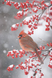Northern Cardinal in Common Winterberry, Marion, Illinois, Usa Photographic Print by Richard ans Susan Day