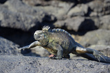 Ecuador, Galapagos Islands, Fernandina Island. Marine Iguana Walking Photographic Print by Kevin Oke
