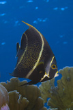 French Angelfish Intermediate Phase. Curacao, Netherlands Antilles Photographic Print by Barry Brown