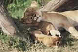 Kenya, Maasai Mara Game Reserve, Mother Lion Playing with Cubs Fotodruck von Kent Foster