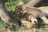 Kenya, Maasai Mara Game Reserve, Mother Lion Playing with Cubs Photographic PrintKent Foster