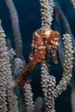 Longsnout Seahorse on Gorgonian. Curacao, Netherlands Antilles Fotografisk tryk af Barry Brown