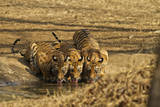 Tiger Cubs at the Waterhole, Tadoba Andheri Tiger Reserve, India Photographic Print by Jagdeep Rajput