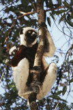 Madagascar, Coquerel's Sifaka Photographic Print by Roy Toft