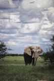Namibia, Etosha NP, Elephant Young Male, African Bush Elephant Fotografisk tryk af Walter Bibikow