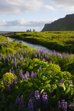 Iceland. Vik I Myrdal. Stream Running Through Field of Wildflowers Photographic Print by Inger Hogstrom