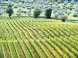 Italy, Tuscany. Vineyard and Olive Grove in the Chianti Region Photographic Print by Julie Eggers