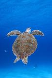 Portrait of a Green Sea Turtle. Curacao, Netherlands Antilles Fotografisk tryk af Barry Brown