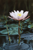 Myanmar, Close-Up View of Water Lily at Inle Lake Photographic Print by Russell Young