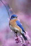 Eastern Bluebird Male in Eastern Redbud, Marion, Illinois, Usa Fotografisk tryk af Richard ans Susan Day