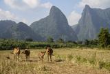 Laos, Vang Vieng. Cows and Mountains Stampa fotografica di Matt Freedman