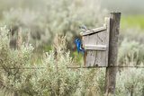 Breeding Pair of Mountain Bluebirds, Mission Valley, Montana, Usa Photographic Print by Chuck Haney