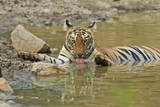 Bengal Tiger at the Waterhole, Tadoba Andheri Tiger Reserve, India Photographic Print by Jagdeep Rajput