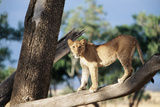 Kenya, Maasai Mara, Young Male Lion on Tree Photographic PrintKent Foster