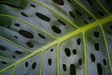 Monstera Deliciosa, Iao Valley State Monument, Maui, Hawaii, Usa Photographic Print by Roddy Scheer