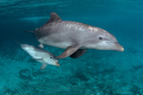 Baby Atlantic Bottlenose Dolphin. Curacao, Netherlands Antilles Photographic Print by Barry Brown