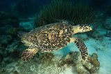Hawksbill Turtle. Alice in Wonderland Dive Site, Netherlands Antilles Photographic Print by Barry Brown