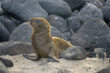 Ecuador, Galapagos, North Seymour Island. Galapagos Sea Lion Pup Photographic Print by Kevin Oke