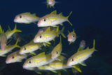 Close Up of School of Yellow Goatfish. Curacao, Netherlands Antilles Photographic Print by Barry Brown