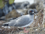 Ecuador, Galapagos Islands, North Seymour Island. Swallow-Tailed Gull Photographic Print by Kevin Oke