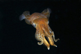 Face View of Caribbean Reef Squid. Curacao, Netherlands Antilles Photographic Print by Barry Brown