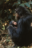 Africa, Female Chimpanzee and Infant Photographic Print by Kristin Mosher
