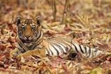 Young One of Royal Bengal Tiger, Tadoba Andheri Tiger Reserve, India Photographic Print by Jagdeep Rajput