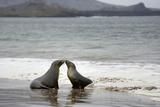 Ecuador, Galapagos Islands, Santiago Island. Galapagos Sea Lion Reprodukcja zdjęcia autor Kevin Oke