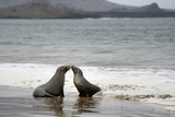 Ecuador, Galapagos Islands, Santiago Island. Galapagos Sea Lion Photographic Print by Kevin Oke