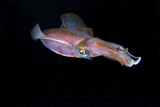 Side View of Caribbean Reef Squid. Curacao, Netherlands Antilles Photographic Print by Barry Brown