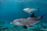 Baby Bottlenose Dolphin with Mother. Curacao, Netherlands Antilles Photographic Print by Barry Brown