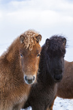 Icelandic Horse During Winter with Typical Winter Coat, Iceland Stampa fotografica di Martin Zwick