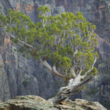 USA, Colorado, Gunnison National Park. Tree on Ledge of Black Canyon Photographic Print by Jaynes Gallery