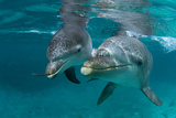 Atlantic Bottlenose Dolphin and Baby. Curacao, Netherlands Antilles Photographic Print by Barry Brown