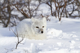 Arctic Fox in Snow, Churchill Wildlife Area, Manitoba, Canada Reproduction photographique par Richard ans Susan Day
