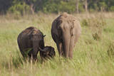 Indian Asian Elephant Family in the Savannah, Corbett NP, India Photographic Print by Jagdeep Rajput