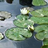 Water lily pads, Indianapolis, Indiana Photographic Print by Anna Miller