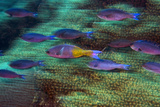 Creole Wrasse over a Coral Reef. Curacao, Netherlands Antilles Photographic Print by Barry Brown