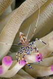 Spotted Cleaner Shrimp on an Anemone. Curacao, Netherlands Antilles Photographic Print by Barry Brown